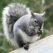 Western Gray Squirrel - Photo (c) Larry McCombs, some rights reserved (CC BY-NC-SA)