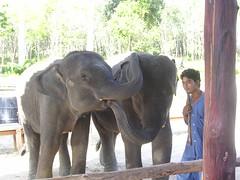 wildlife(0.0), indian elephant(1.0), elephant(1.0), elephants and mammoths(1.0), african elephant(1.0), fauna(1.0), mahout(1.0),