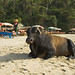 Sunbaking Cow on Vagator Beach Goa India