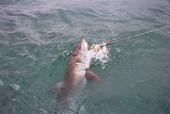 animal, fish, great white shark, shark, fishing, sea, marine biology, recreational fishing, lamniformes, requiem shark,