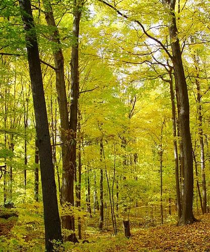 autumn trees light fall yellow forest golden newyorkstate naturesfinest kakadoo rmv123n
