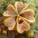 Pectinaria articulata subsp. asperiflora flower macro by Martin_Heigan