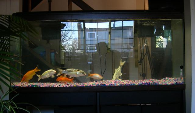 378920926 9be7e27736 for Koi im aquarium