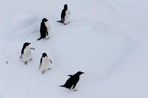Adelie Penguins: Right men, form an echelon
