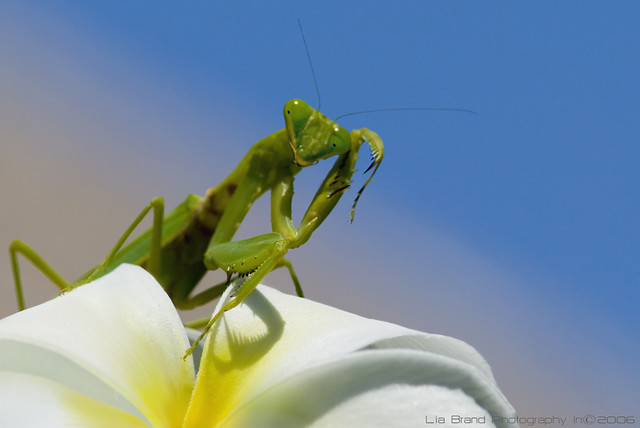 c'mon, get me if you can…♫ a praying mantis from bali ♫