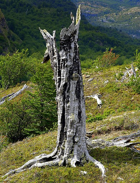 Dead Tree - Torres Del Paine National Park - Chile