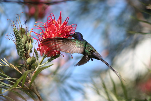 Beija-flor Tesoura (Eupetomena macroura) - Swallow-tailed Hummingbird 132