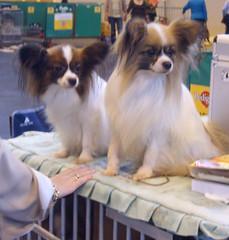 dog breed, animal, dog, pet, mammal, japanese chin, phalã¨ne, papillon,