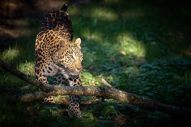 Leopard in the light