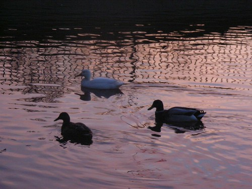 bird water animal duck