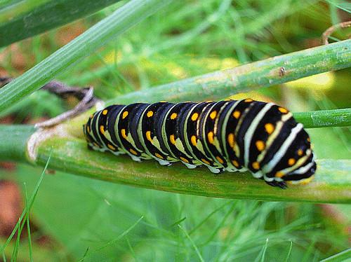 322390143 8dbef71018 jpgZebra Swallowtail Caterpillar