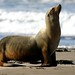 ca1-sea-lion-morro-strand
