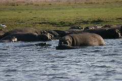 Hippo congregation on the Chobe river