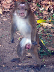 Your place The size of a monkeys penis can suggest
