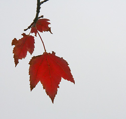 Red Leaves 9019