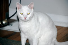 turkish van(0.0), javanese(0.0), american shorthair(0.0), tonkinese(0.0), egyptian mau(0.0), balinese(0.0), manx(0.0), animal(1.0), khao manee(1.0), small to medium-sized cats(1.0), pet(1.0), burmilla(1.0), european shorthair(1.0), turkish angora(1.0), cat(1.0), carnivoran(1.0), whiskers(1.0), devon rex(1.0), domestic short-haired cat(1.0),