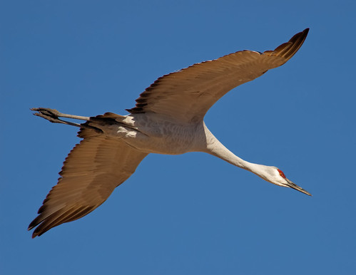 Crane Flight Diagonal