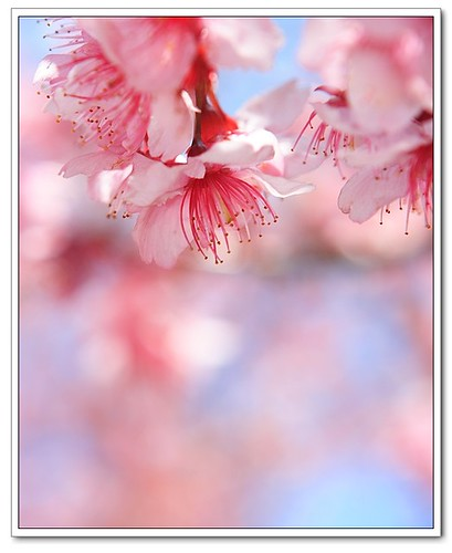 春 櫻 Cherry Blossoms in Spring