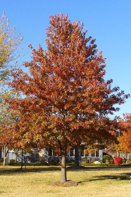 Northern Red Oak ~ Northern red oak flickr photo sharing