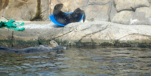 Sea Otters at play at the aquarium in Monterey.