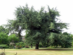 Big tree in park in Southampton