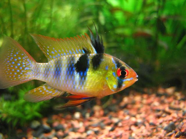 GERMAN BLUE RAM Explore sapienssolutions photos on Flickr ...