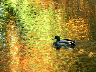 Duck in Autumn Leaf Reflection