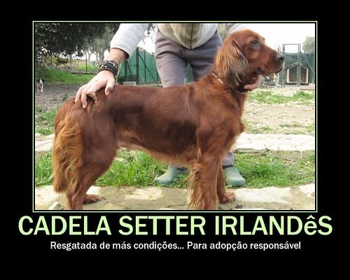 Setter Irlandes - adoptada