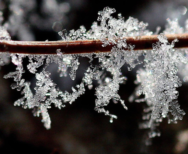 Frost on a pine needle