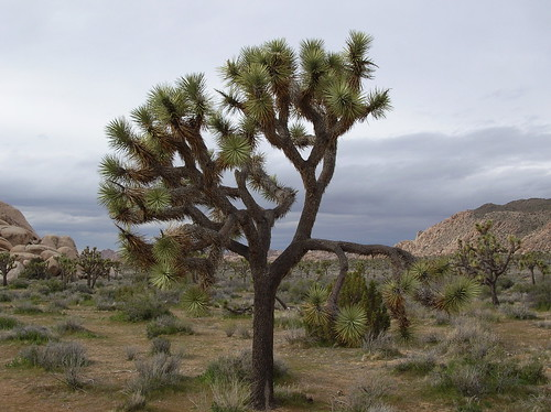 Joshua Tree by ˇBerd