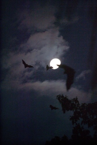 Flying Foxes by Moonlight