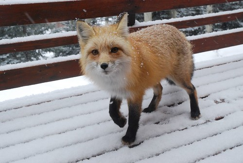Snow Cute Fox