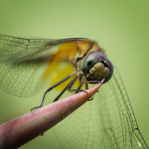 Dragonfly, holding on against the wind, Botanic Garden, Singapore.