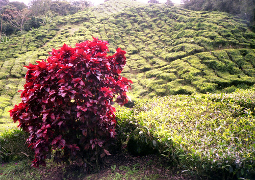 The Red Bush