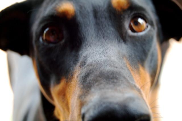 Doberman Dog Show