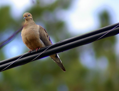 Pretty little Dove