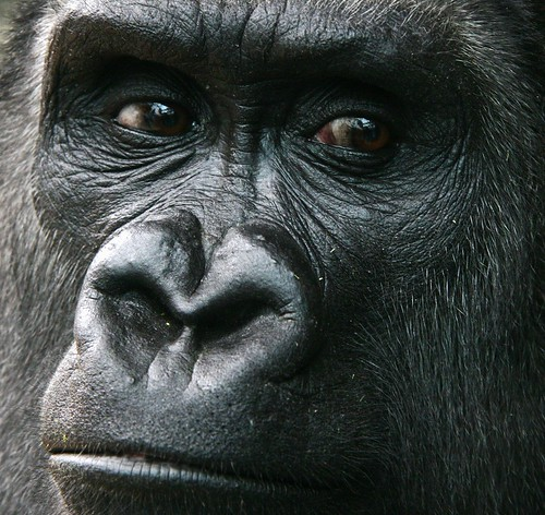 Sad Faced Gorilla