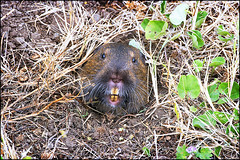 animal, rodent, fauna, muskrat, beaver, wildlife,