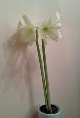 cut flowers(0.0), flower bouquet(0.0), amaryllis belladonna(1.0), flower(1.0), white(1.0), artificial flower(1.0), green(1.0), vase(1.0), plant stem(1.0), hippeastrum(1.0),