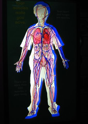 Body Systems........ The Human Body Flashcards   Quizlet