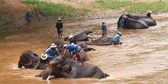cattle-like mammal(0.0), water buffalo(0.0), cattle(0.0), safari(0.0), wildlife(0.0), elephant(1.0), elephants and mammoths(1.0), mahout(1.0),