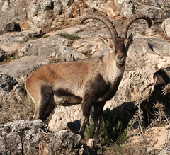argali(0.0), mountain goat(0.0), white-tailed deer(0.0), chamois(0.0), animal(1.0), antelope(1.0), mammal(1.0), horn(1.0), barbary sheep(1.0), fauna(1.0), bighorn(1.0), wildlife(1.0),