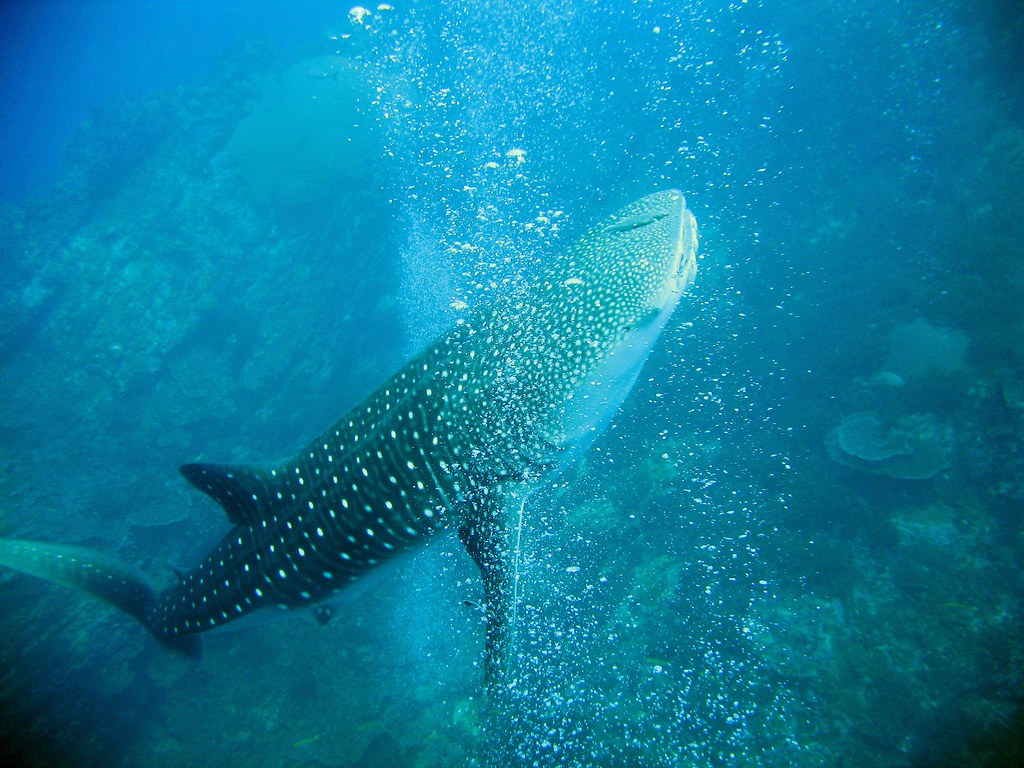 largest whale shark - photo #48