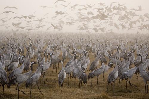 Crowd of cranes