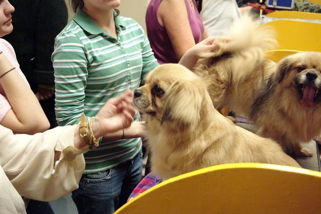 Club Spaniel Dog Breed