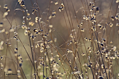 Rattlesnake Grass