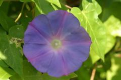 ipomoea alba(0.0), annual plant(1.0), ipomoea violacea(1.0), flower(1.0), purple(1.0), macro photography(1.0), wildflower(1.0), flora(1.0), petal(1.0),