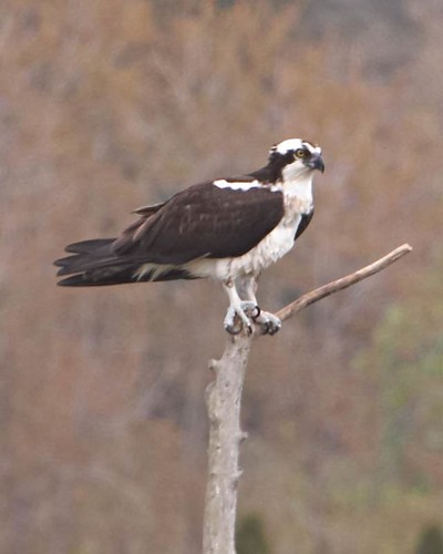 Osprey Watching