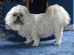 dandie dinmont terrier(0.0), miniature poodle(1.0), bichon frisã©(1.0), dog breed(1.0), animal(1.0), dog(1.0), cavachon(1.0), schnoodle(1.0), pet(1.0), coton de tulear(1.0), lã¶wchen(1.0), bolonka(1.0), poodle crossbreed(1.0), havanese(1.0), lhasa apso(1.0), bichon(1.0), chinese imperial dog(1.0), maltese(1.0), bolognese(1.0), carnivoran(1.0),