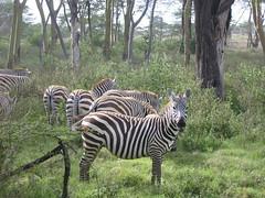 animal, zebra, mammal, fauna, jungle, savanna, safari, wildlife,